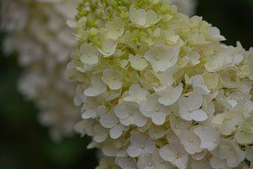 Blütentraum in weiß und grün von Joachim Küster