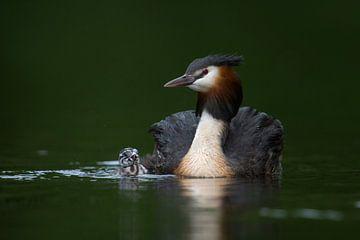 Haubentaucher ( Podiceps cristatus ), Altvogel gemeinsam mit Jungvogel, alt und jung schwimmen neben von wunderbare Erde