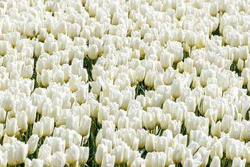 Tulpen wit sur Hans Tijssen
