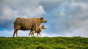 Mère avec fille - agneaux sur Texel
