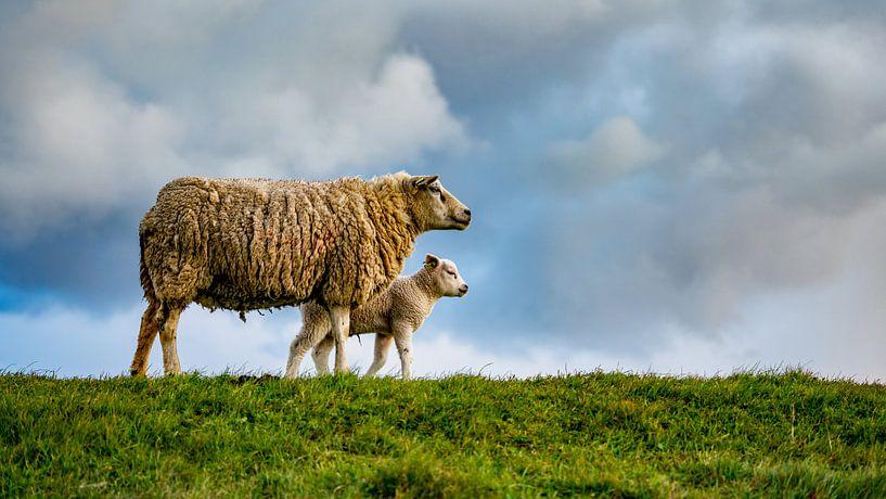 Mère avec fille - agneaux sur Texel sur Texel360Fotografie Richard Heerschap