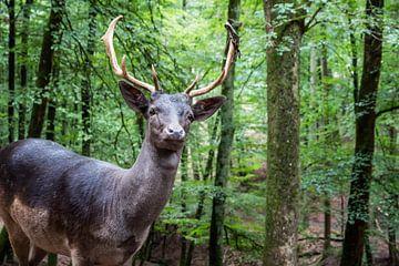 Edelhert in het bos van