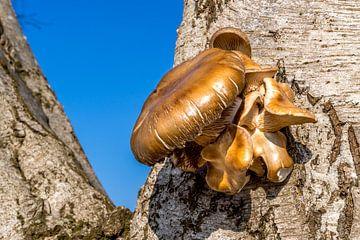 Een bijna gouden paddestoel groeiend in de winter op een boom nabij Lieshout in Brabant van Hein Fleuren