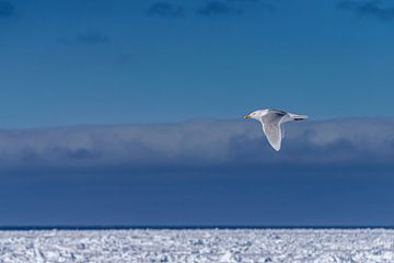 Möwe über dem Eisfeld von Spitzbergen von Merijn Loch