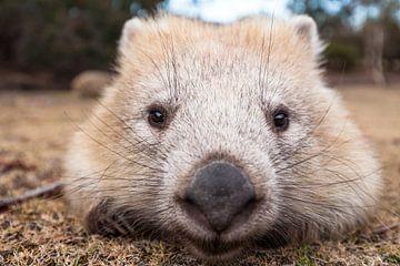 Wombat - Knuffel - Wombat - Australië Wild dier van Jiri Viehmann