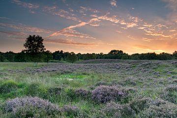 Drentse hei kleurt paars bij een mooie zonsondergang. van Harry Kors