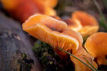 Orange Champignon von Noud de Greef