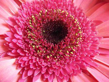 Roze Gerbera van Margriet Adema