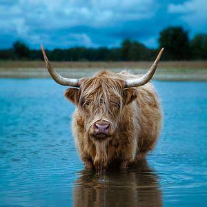 Schotse Hooglander (rund) van