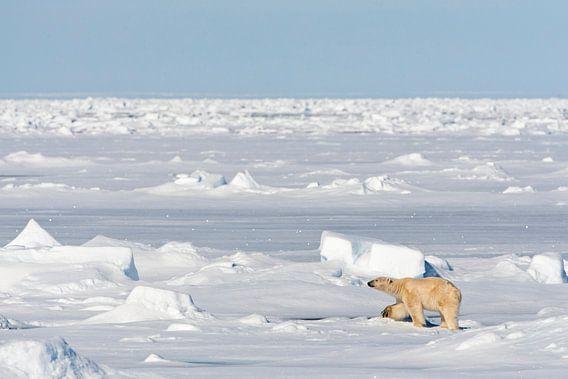 IJsbeer (Ursus maritimus) op de Noordpool