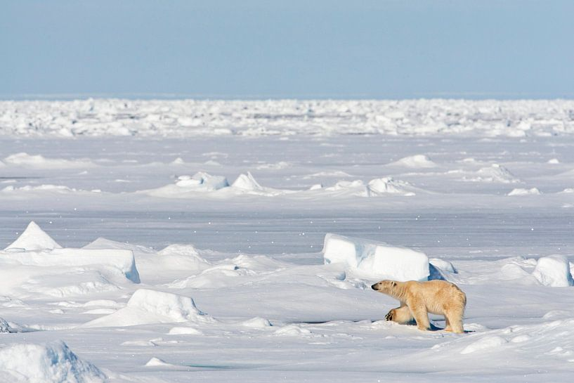 IJsbeer (Ursus maritimus) op de Noordpool van Beschermingswerk voor aan uw muur