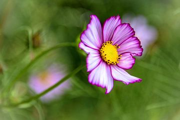 Roze bloem met geel hart, Coreopsis van Rietje Bulthuis