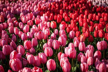 Veld vol bloeiende roze en rode tulpen van Simone Janssen