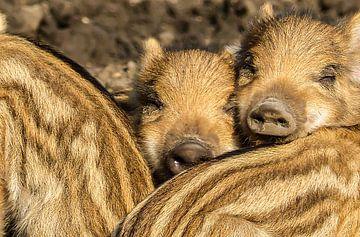 Twee kleine wilde zwijntjes, samen in de zon van