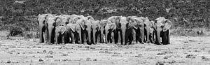 Olifanten kudde op rij in zwart wit van