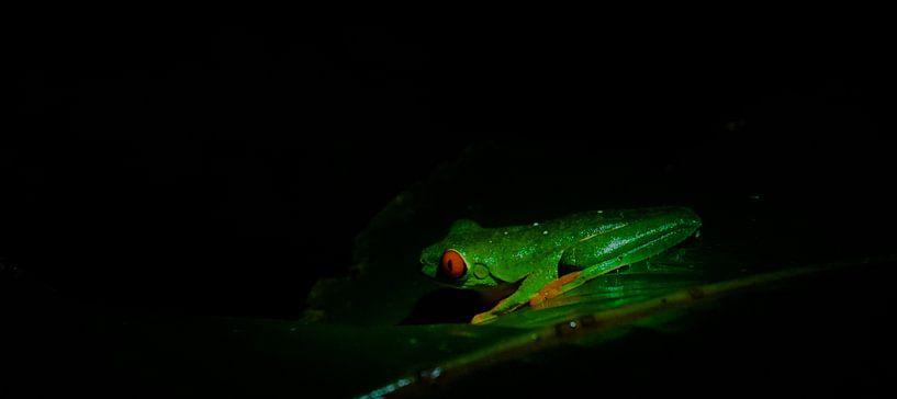 red-eyed tree frog van peter meier