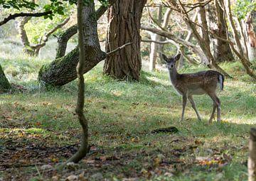 young bambi deer  van Compuinfoto .