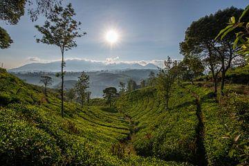 Teeplantage in Indonesien von Ellis Peeters