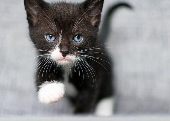 Kitten loopt naar je toe
