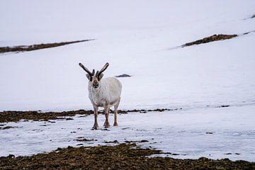 Rendier op de vlakte van Spitsbergen van Merijn Loch