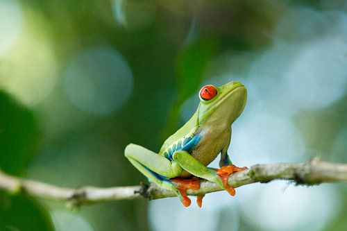 Roodoogmakikikker Costa Rica (bokeh)