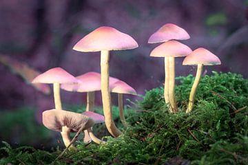 Paddenstoelen in mos - Natuur van Fotos by Jan Wehnert