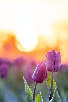 Knuffelende tulpen bij zonsopkomst van Erik Lei