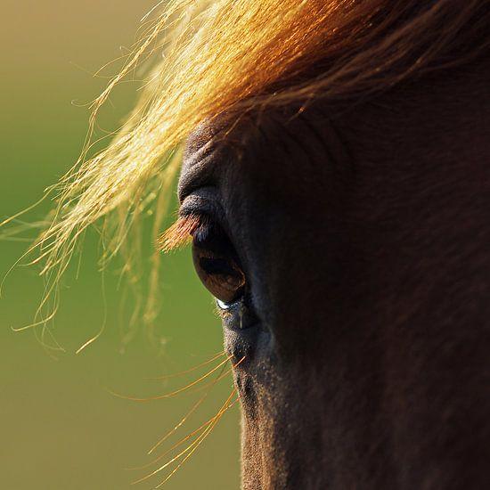 Ogen van het paard