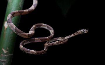 Jagd auf die Baumschlange im Regenwald von Honduras von Thijs van den Burg