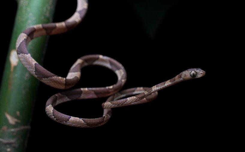 Chasser le serpent arboricole dans la forêt tropicale du Honduras sur Thijs van den Burg