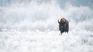 Wisent / European Bison van Alex Pansier