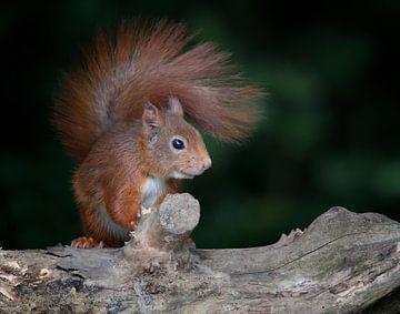 eekhoorn van emmie van der knokke