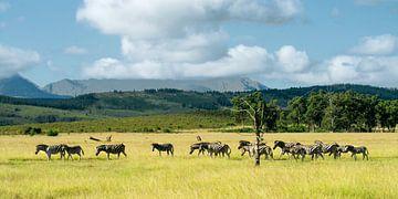 Zebras im Naturschutzgebiet Plettenberg von Filip Staes