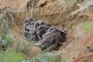 Europaeische Uhus ( Bubo bubo ), drei Uhu-Küken in ihrem Tagesversteck in einer Sandgrube, lustige T von wunderbare Erde