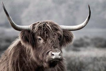 Schotse Hooglander bij de Hilversumse heide van Dennisart Fotografie
