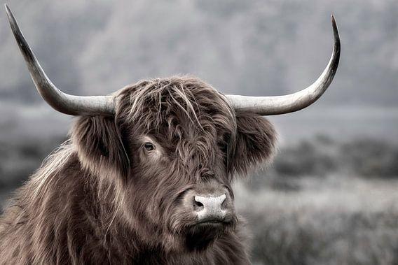 Schotse Hooglander bij de Hilversumse heide