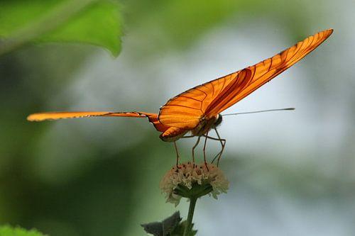 Oranje vlinder op bloem van Martin van den Berg