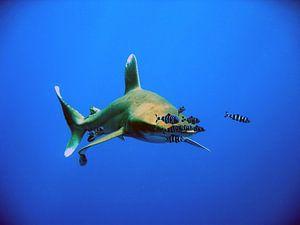 Oceanic Whitetip shark at Elphinestone