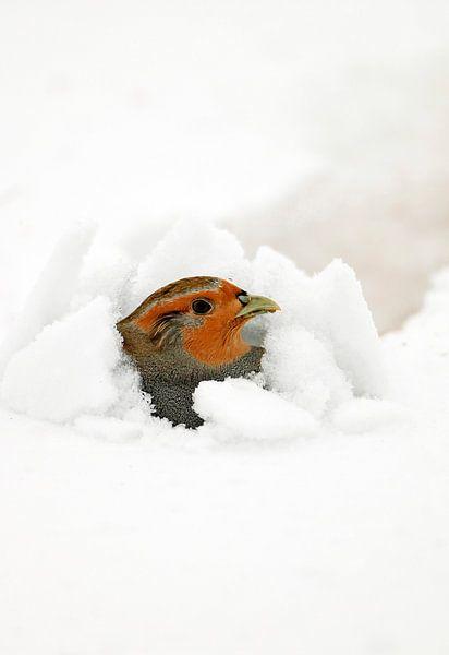 Patrijs in de sneeuw van Beschermingswerk voor aan uw muur