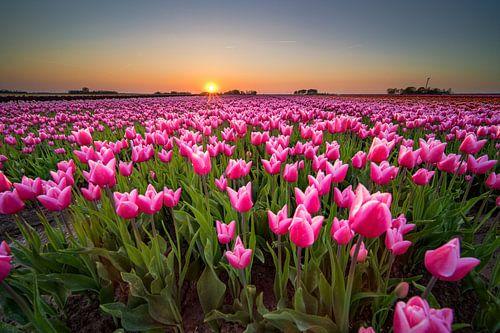 Tulpenveld tijdens zonsondergang in Holland