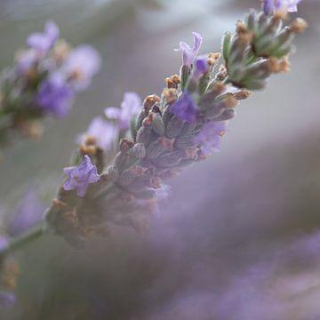 Lavendel in Ardeche van Marjolein Hermans