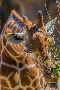 """""""Hongerige giraffe"""" in Australië"""