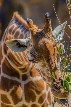 """""""Hongerige giraffe"""" in Australië van"""