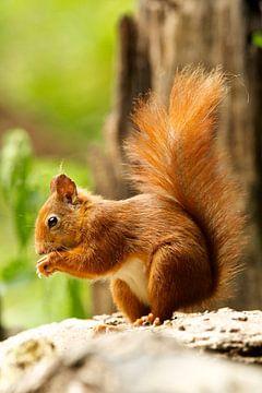 Eichhörnchen sur Rando Kromkamp