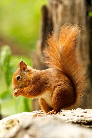 eekhoorn van Rando Kromkamp