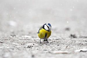 Pimpelmees in de sneeuw II van Marvin Van Haasen
