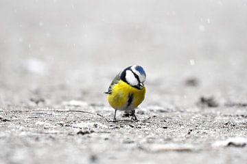 Mésange bleue dans la neige II sur Marvin Van Haasen