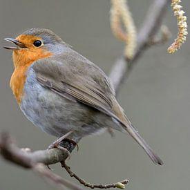 Robin ( Erithacus rubecula ) chante sa chanson joyeuse, la vie sauvage, l'Europe. sur wunderbare Erde