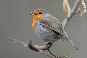 Robin ( Erithacus rubecula ) chante sa chanson joyeuse, la vie sauvage, l'Europe.