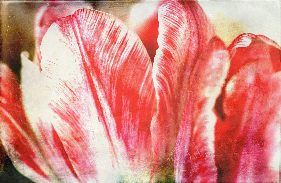 Tulpenblüte van Rosi Lorz